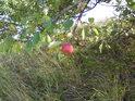 Planá jablíčka.