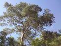 Tvar větví borovic tu svědčí o neúživnosti podloží pro takové stromy.