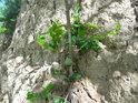 Jakmile se ve sprašové stěně zachytí vegetace, tak ji začne svými kořeny postupně rozkládat.