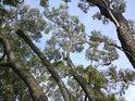 Pohled do koruny mnohakmenové vrby.