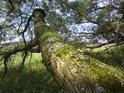 Téměř ležící, mechem porostlý vrbový kmen.