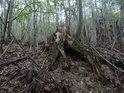 Pařez je již mrtvý a dřevo postupně rozkládají mechy i živočišní škůdci.