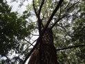 Topol bílý je lužní strom.
