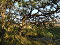 Okrajové duby Milonického lesa se rozrostly do polní strany.