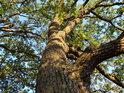 Večerně osvětlený dub v Milonickém lese.