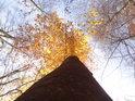 Buk s úzkou korunou v nádherných barvách podzimu.
