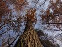 Dub mezi ostatními stromy svoji korunu příliš rozložit nemohl.