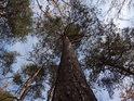 Přímá borovice má mezi skalami slušné místo.