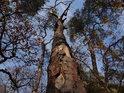 Usychající borovice na skalách Malužína.
