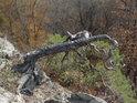 Ohnutá a pokřivená lišejníkem porostlá borovice v prudkém skalním srázu nad řekou Svitavou.