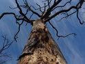 Stále stojící uschlý dub nahoře na skále.