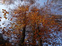Bukové listí na podzim hýří barvami.