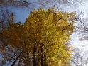 Podzimní listí bukových čtyřčat na Malužíně.