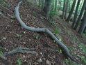 Uražená křivá buková větev.