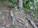 Propletené bukové kořeny.
