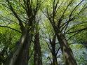 Olše jsou častými lužními stromy.