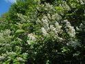 Květy střemchy bílé v hojném množství.