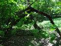 Ohnuté stromy někdy zakoření, takové je to přirozené hřížení.