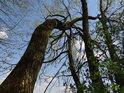 Luhy mají stromy přímé i zohýbané.