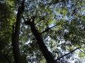 Hustší vrbové porosty na levém břehu Svratky.