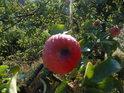 Orosené jablíčko na Medlánecké skalce.