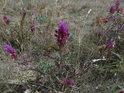 Květena pod vrcholem Velkého Medláneckého kopce.