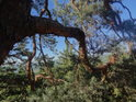 Zajímavě zalomená borová větev.