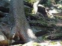 Smrkové kořeny se plazí po skalách a chytají se každé štěrbiny.