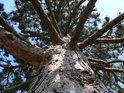 Při pohledu do koruny borovice je jasné, že do výšky se nepožene, spíše bude sílit.