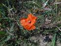 Ojedinělý květ vlčího máku.