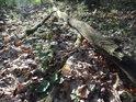 Ležící dubová souška na tlejícím listí.