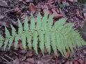 Kapradina jako krásný příklad přirozeného fraktálu.