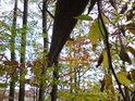 Podzimní barvy bukových listů jsou svědky stále více usychajícího čnícího kmene jiného buku.