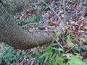 Kolem zdivočelé třešně krouží mlsně břečťan, ale zdravý strom zatím odolává.