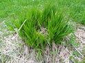 Živý trs trávy vyrůstá na zbytcích uschlého předka.