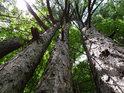 Trojice borovic na okraji lesa.