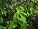 Třešňové listy na okraji borového lesa.
