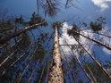 Vzrostlé přímé borovice oproti horké letní obloze.