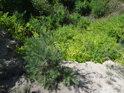 Borovice písečné a suché podloží snášejí, proto se jim v nehostinném Mrazovém klíně vcelku daří.