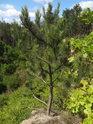 Mladá borovice na malém pískovcovém ostrohu.