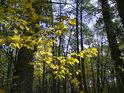 Bukové listí oslněné slunečním svitem.