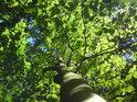 Pohled do koruny mladého buku ve svěžích zelených barvách.