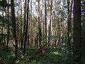 Monokulturní borový les s hojným podrostem.