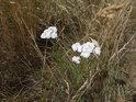 Řebříček kvete bíle a dá se sbírat.