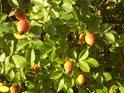 Zrající oranžové šípky mají ještě loňské souputníky.