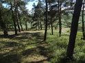 Borový les v západním cípu chráněné územ se zdá udržovaný, možná až moc.