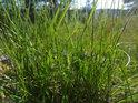 Zelený trs trávy potěší při poměrně vyschlém okolí.