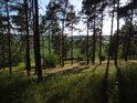 Lesní průzor mezi borovicemi, kde je vidět dosti lidských zásahů.