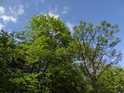 Jasan mezi duby vyniká pozdějším růstem listí.
