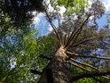 Pohled do korun borovice, kterou obklopují samé listnaté stromy.